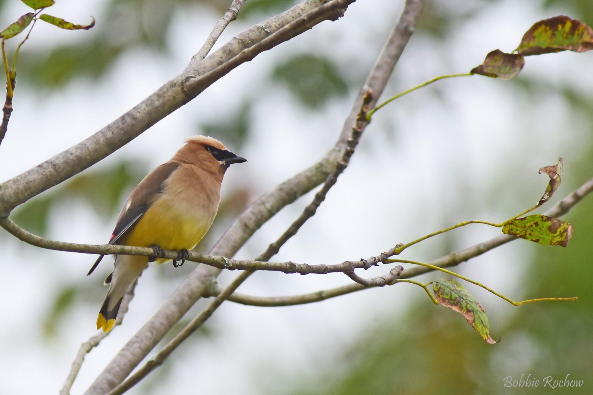 waxwing bird on tree branch