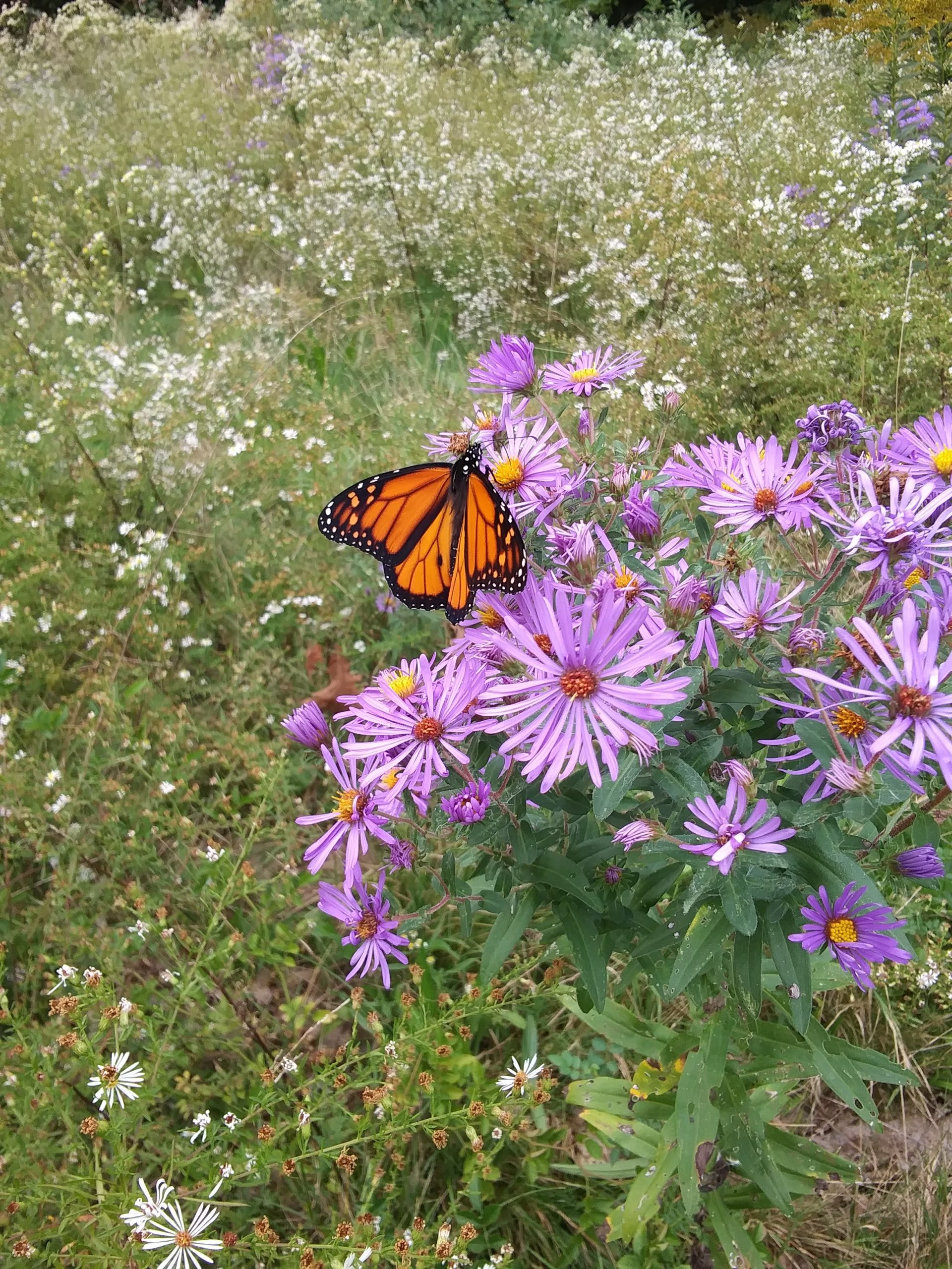 Butterfly on purple aster