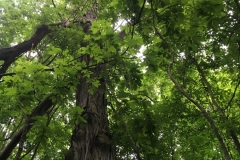 Lampson-Berardinelli-Hickory-Canopy