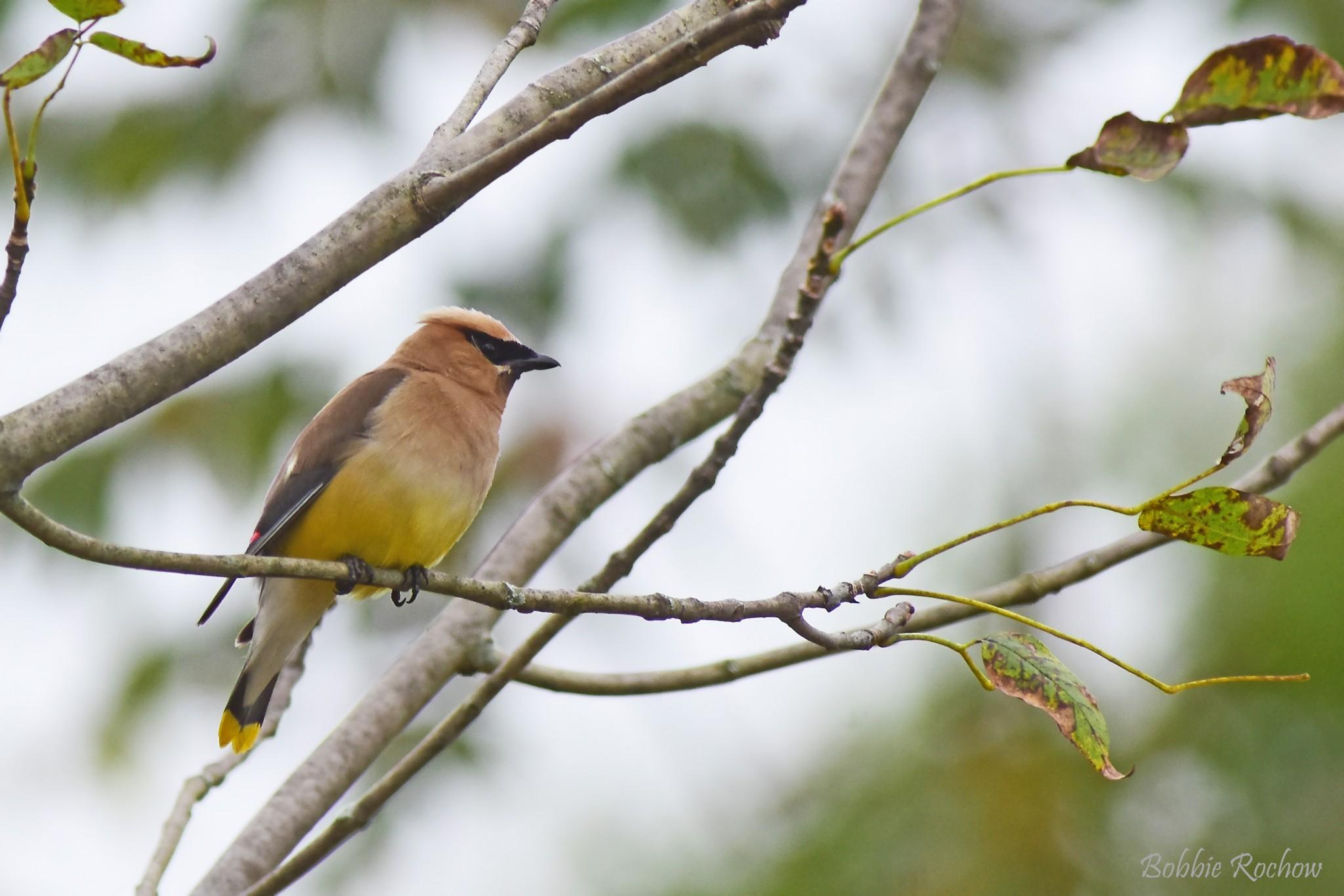 waxwing bird on tree branch